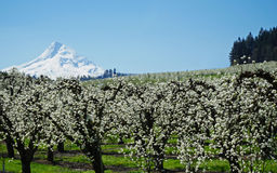 Mt Hood In Spring Stockfotos