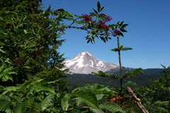Mt. Hood in summer. Photo of Mt. Hood in summer. Photo shows some of the local vegetation. 2006 stock photo