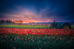 Mt. Hood and Tulip field at dawn Royalty Free Stock Photo