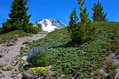 Mt. Hood with wildflowers Royalty Free Stock Photo