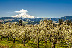 Mt-huv, äpplefruktträdgårdar, Oregon Royaltyfri Bild