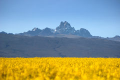 Mt Kenya. With canola fields in the foreground stock images