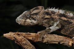 Mt. Kenya Jackson's Chameleon - Trioceros jac Stock Photo