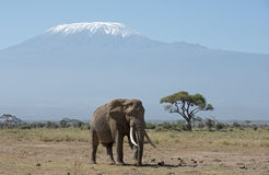 Mt Kilimanjaro with elephant Royalty Free Stock Images