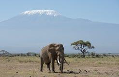 Mt Kilimanjaro with elephant Royalty Free Stock Images