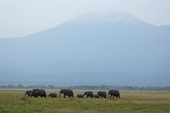 Mt. Kilimanjaro and elephants. Mt. Kilimanjaro, the highest mountain of Africa. Herd of African elephants Stock Image