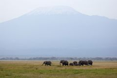 Mt. Kilimanjaro and herd of African elephants Royalty Free Stock Photos