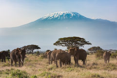 Mt Kilimanjaro Landscape, Amboseli National Park. Elephants in front of Mt Kilimanjaro in Kenya Royalty Free Stock Images