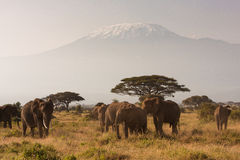 Mt Kilimanjaro. A spectacular landscape with Mt Kilimanjaro in the background as well as African elephants in the foreground Stock Photography