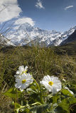 Mt-kock med liljan eller smörblommor, nationalpark, Nya Zeeland Royaltyfri Bild