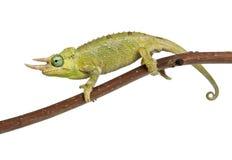 Mt. Meru Jackson's Chameleon Royalty Free Stock Image
