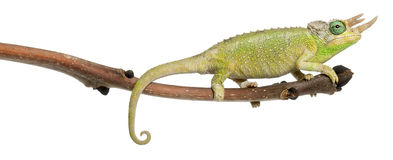 Mt. Meru Jackson's Chameleon Royalty Free Stock Images
