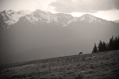 Mt. Olympus Peaks at Hurricane Ridge in Sepia Royalty Free Stock Images