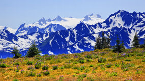 Mt Olympus Snow Mountains Purple Lupine Hurricane royalty free stock photo