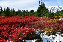Mt Rainier blazes with red fall foliage royalty free stock photography