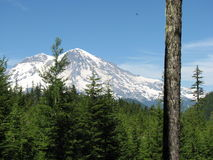 Mt. Rainier from the forest. View of Mt. Rainier from Gifford Pinchot forest Stock Images