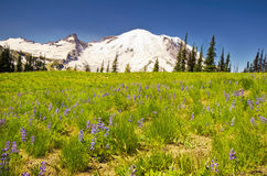 The MT Rainier with Wildflower in the foreground Stock Photography
