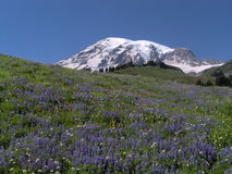 Mt. Ranier in bloei Stock Afbeelding