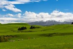 Mt Ruapehu und Felder Stockfoto