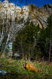 Mt Rushmore Marmot Stock Image