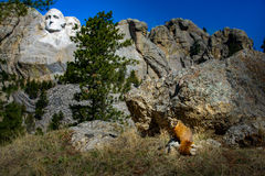 Mt Rushmore Marmot Stock Images