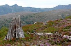 Mt. Saint Helen`s Aftermath Landscape. Dead trees, and regrowth of Mt. Saint Helen`s volcano eruption Stock Photos