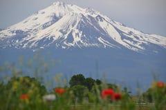 Mt Shasta和野花关闭 免版税库存图片