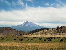 Mt. Shasta and grazing cattle Royalty Free Stock Photography