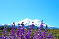 Mt Shasta och lupinevår Royaltyfri Bild