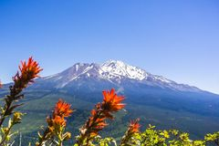 Mt Shasta summit covered in snow; Indian paintbrush Castilleja in bloom in the foreground, Siskiyou County, California royalty free stock photo