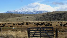 Mt. Shasta in sunshine while cattle grazes below. Snow capped Mt. Shasta gleams in California sunshine, as cattle graze peacefully below, with a cattle fence and royalty free stock photo