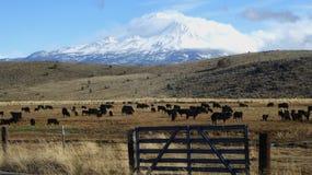 Mt Shasta w świetle słonecznym podczas gdy bydło pasa below Zdjęcie Royalty Free