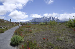 Mt. St Helen. Beautiful wild flowers and volcano. Mt. St Helen National Park, Washington USA stock photography