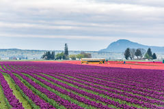 Mt Vernon, USA - April 6, 2016: Rows of red and purple tulips field with school bus and people in morning clouds Stock Photography