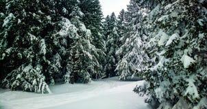 Mt Vitosha pinewood Royalty Free Stock Image