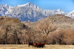 Mt Whitney, sierra Nevada góry i krowy w pogórzach, Samotna sosna, Kalifornia, usa Obraz Royalty Free