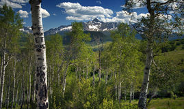 Mt. Wilson looms behind a Beautiful Stand of Aspens in Telluride Royalty Free Stock Images