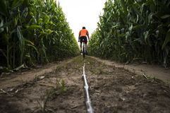 MTB зреют катание человека велосипедиста через кукурузное поле Стоковое фото RF