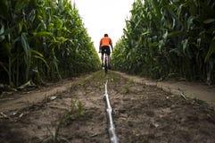 MTB reifen Radfahrermannreiten durch Maisfeld Lizenzfreies Stockfoto