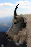 Mtn. goat close-up Royalty Free Stock Images