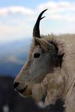 Mtn. plan rapproché de chèvre Images libres de droits