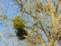 Muérdago de Europen en el invierno, atado a su árbol de arce del anfitrión foto de archivo
