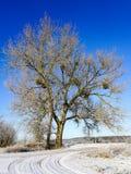 Muérdago de Europen en el invierno, atado a su árbol de arce del anfitrión fotos de archivo libres de regalías