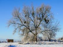 Muérdago de Europen en el invierno, atado a su árbol de arce del anfitrión imagen de archivo