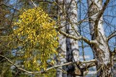 Muérdago en árbol de abedul Fotos de archivo