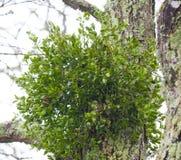 Muérdago en un árbol Imagen de archivo libre de regalías