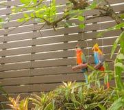 Muñecas del Macaw que cuelgan en árbol del jardín cerca de la pared del jardín Fotografía de archivo