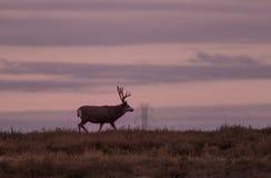 Muła rogacza samiec w wschodzie słońca Zdjęcie Royalty Free