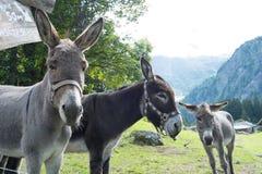Muły dla dzierżawienia Zdjęcia Royalty Free