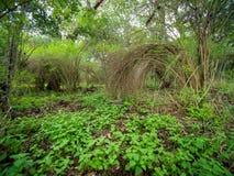 Muśnięcie rośliny w bujny zielenieją las, r w łuku tak, że końcówki dotykają ziemię fotografia stock